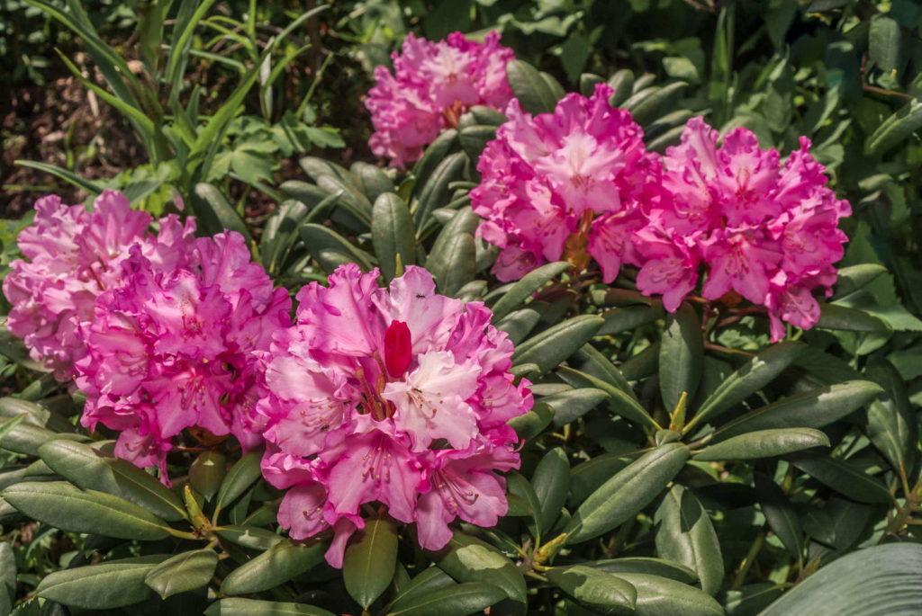 Yakushima Rhododendron Cultivar Kalinka (Rhododendron yakushimanum)