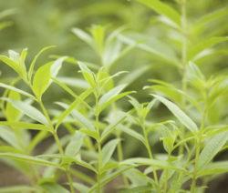 Zitronenverbene Als Pflanze
