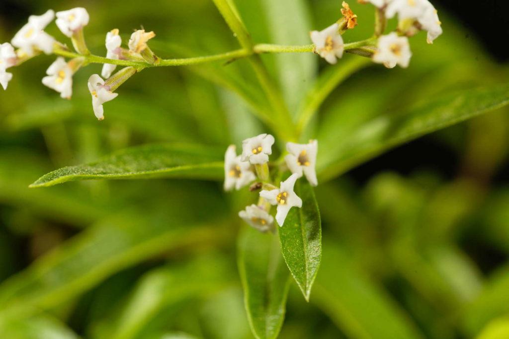 Zitronenverbene Blüten weiß