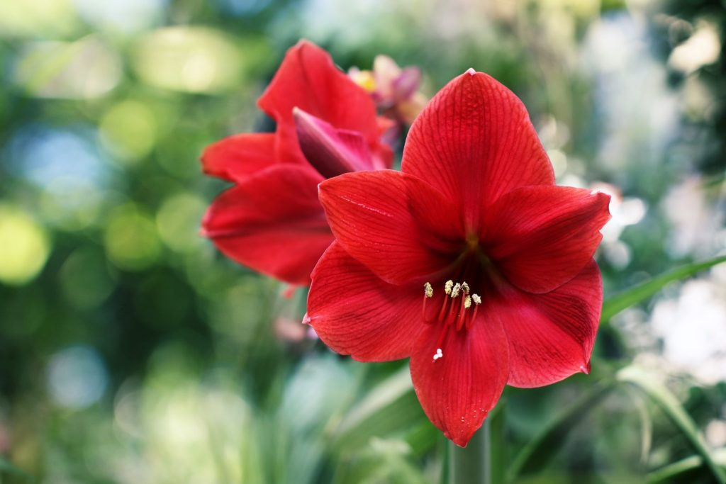 Amaryllis blühend