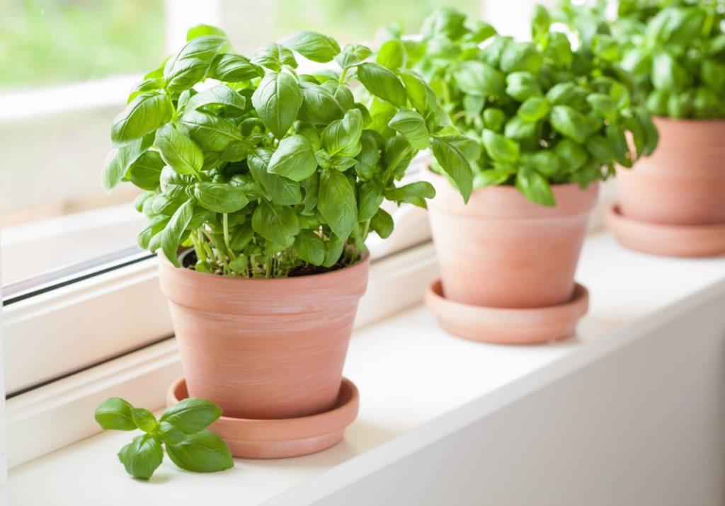 Grüne Basilikum-Pflanzen auf der Fensterbank