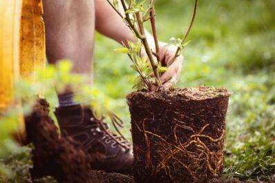 Brombeeren pflanzen: Video-Anleitung & Tipps vom Profi
