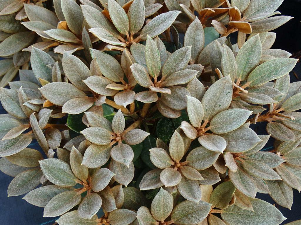 Rhododendron Rusty Dane im Garten