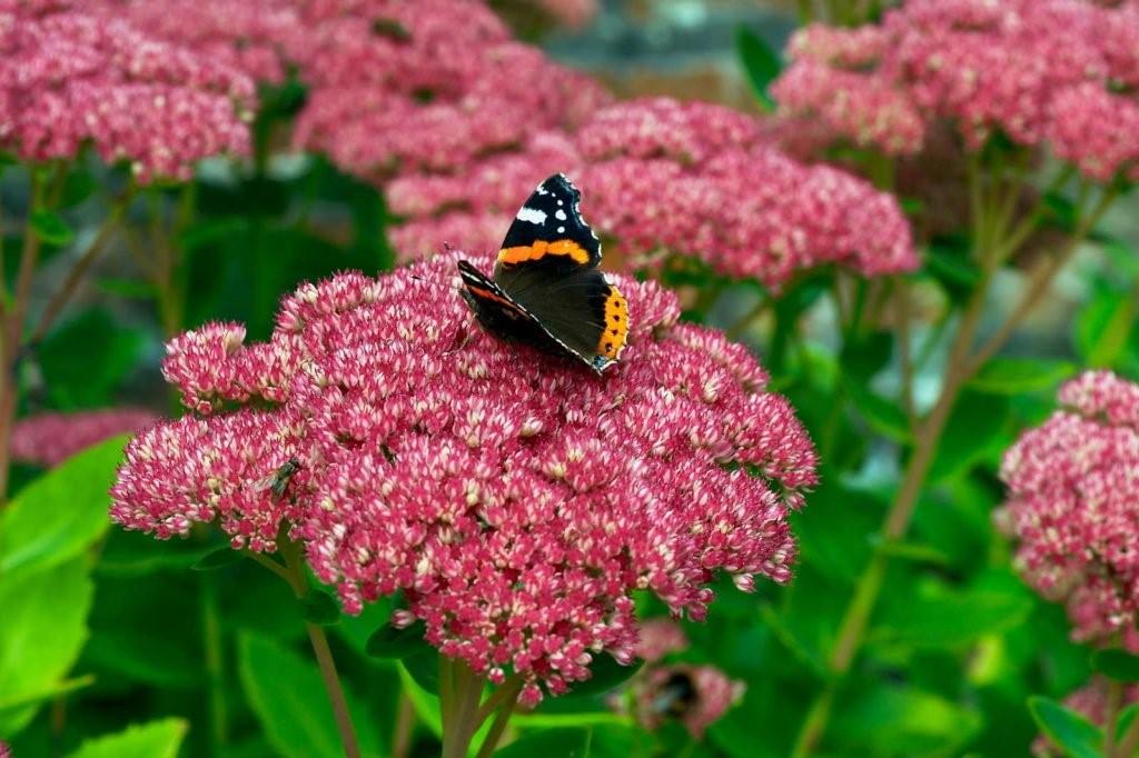 Schmetterling auf Blüte der Fetten Henne