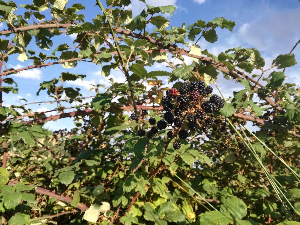 große wilde Brombeerpflanze