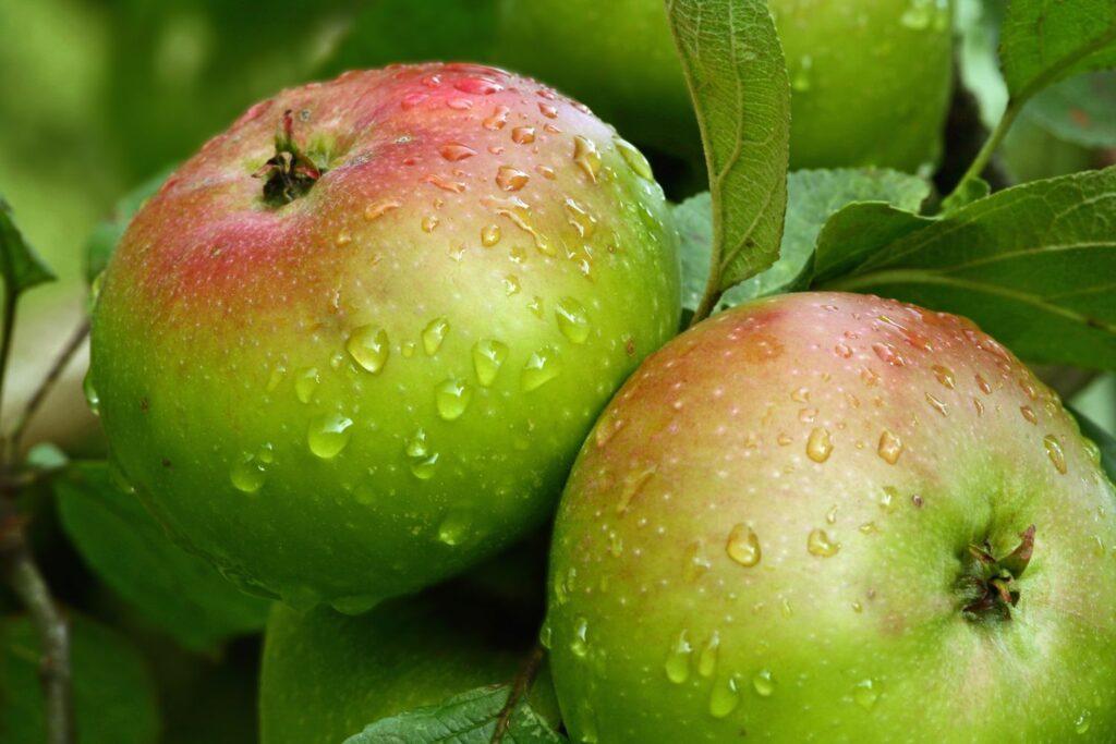 Apfel Jakob Lebel
