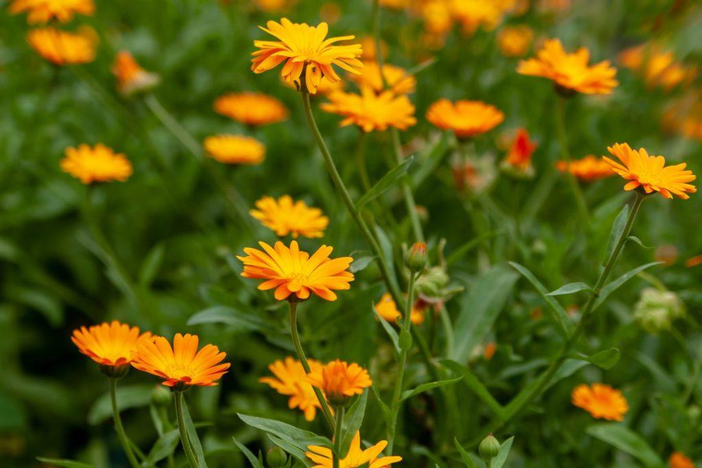 Ringelblume im Garten wachsend mit Blüten