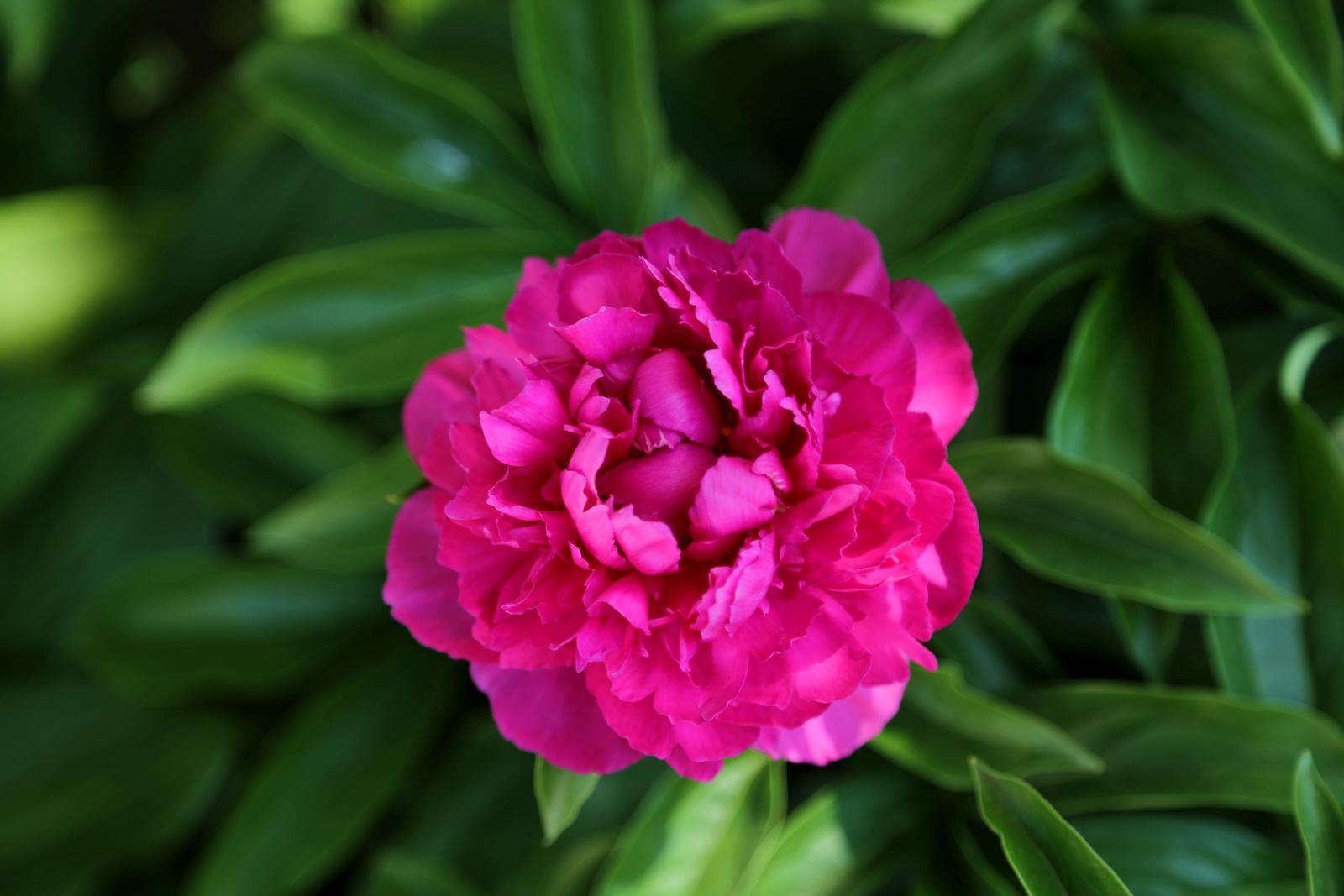 Pfingstrose mit pinker Blüte