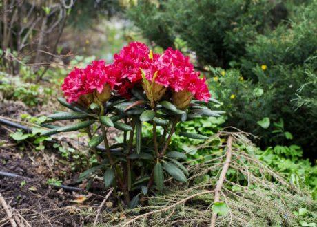 Rhododendron Pflanzen: Anleitung Vom Experten & Pflanz-Tipps