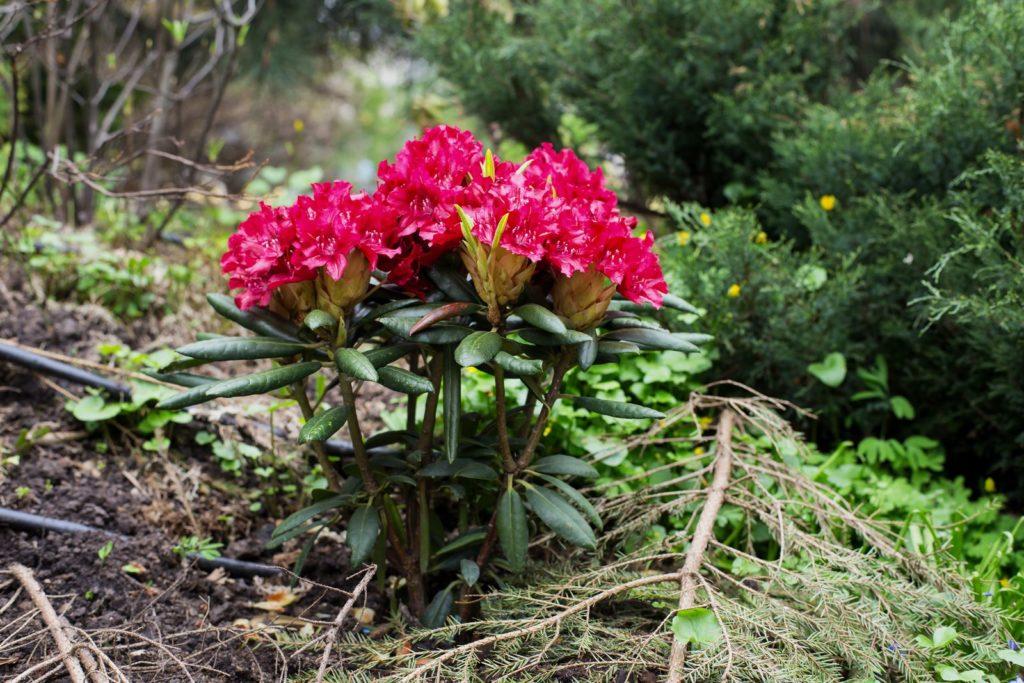 pinker Rhododendron im Park