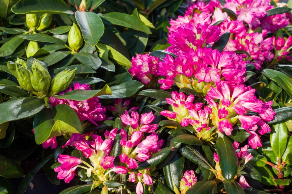 pinker rhododendron nah im Garten