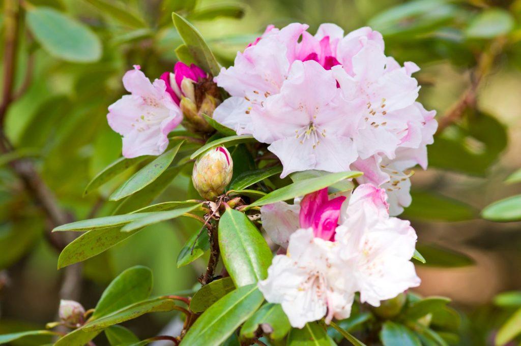 Rosafarbene Rhododendronblüte