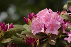 Rosa Rhododendronblüte Nah Im Garten