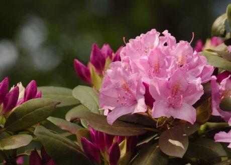 Rhododendron Düngen: Anleitung & Tipps Vom Profi