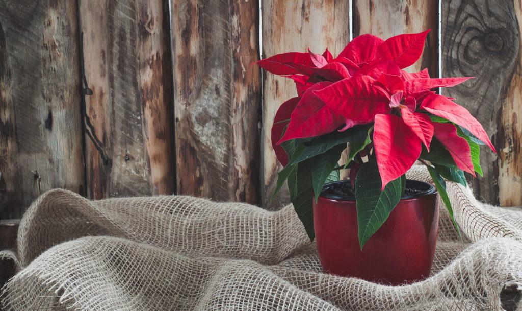 roter Weihnachtsstern mit Jute