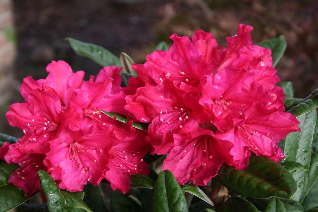 Rhododendron smirnowii im Garten