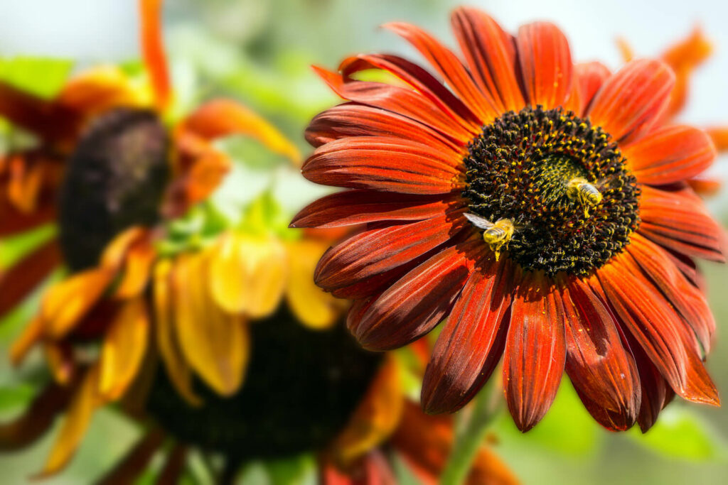Sonnenblume Sorte Prado Red