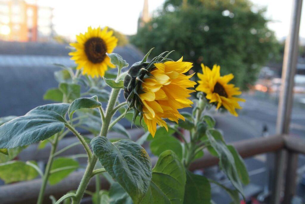 Sonnenblumen auf Balkon