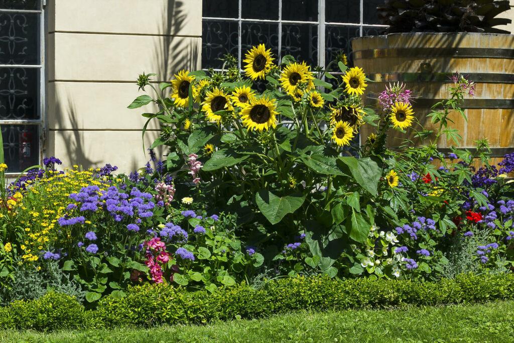 Sonnenblumen im Blumenbeet