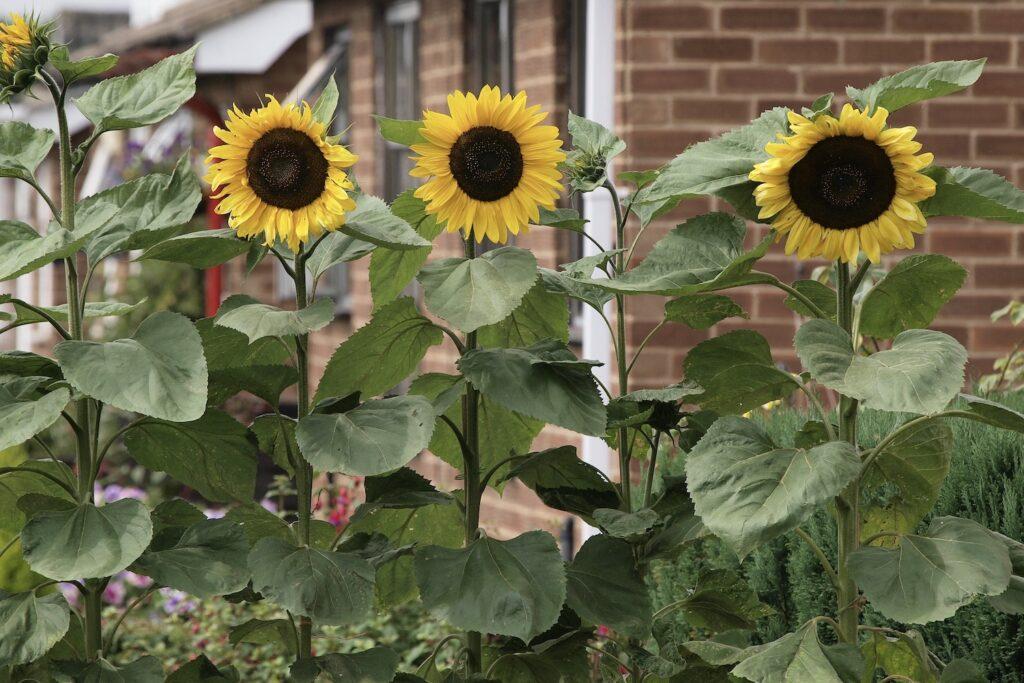 Sonnenblumen vor Haus