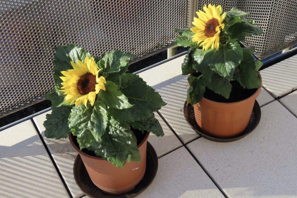 Sonnenblumen im Topf