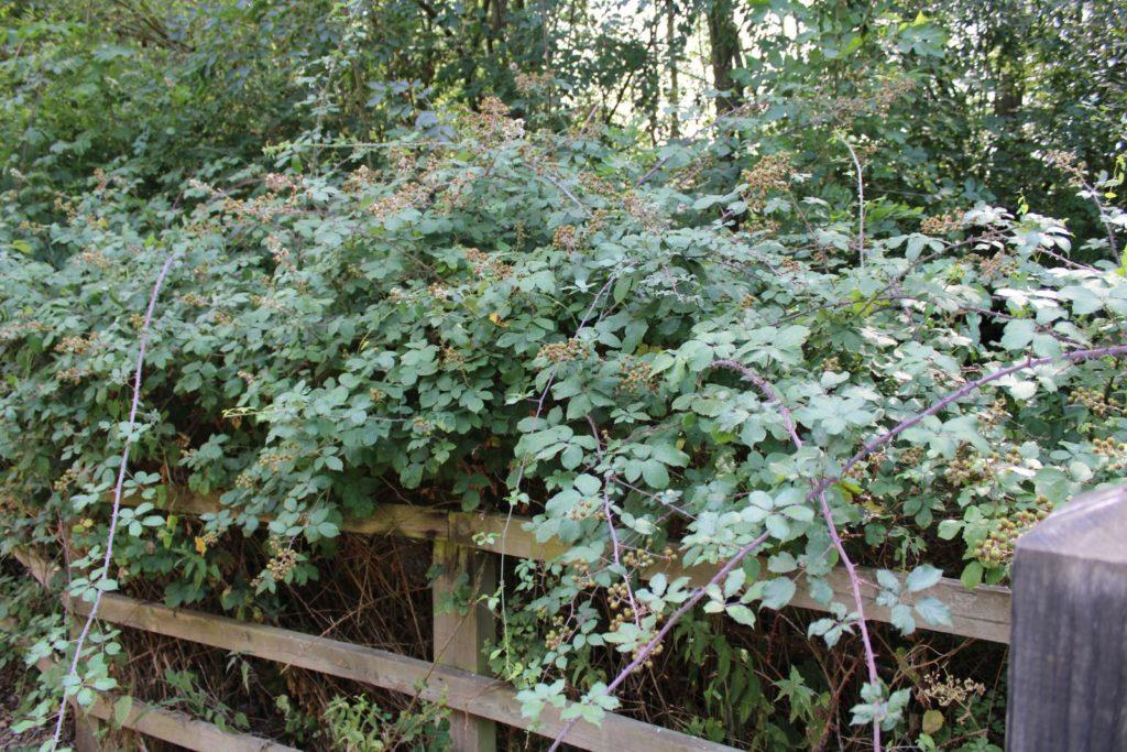 stark wuchernde Brombeeren an einem Zaun