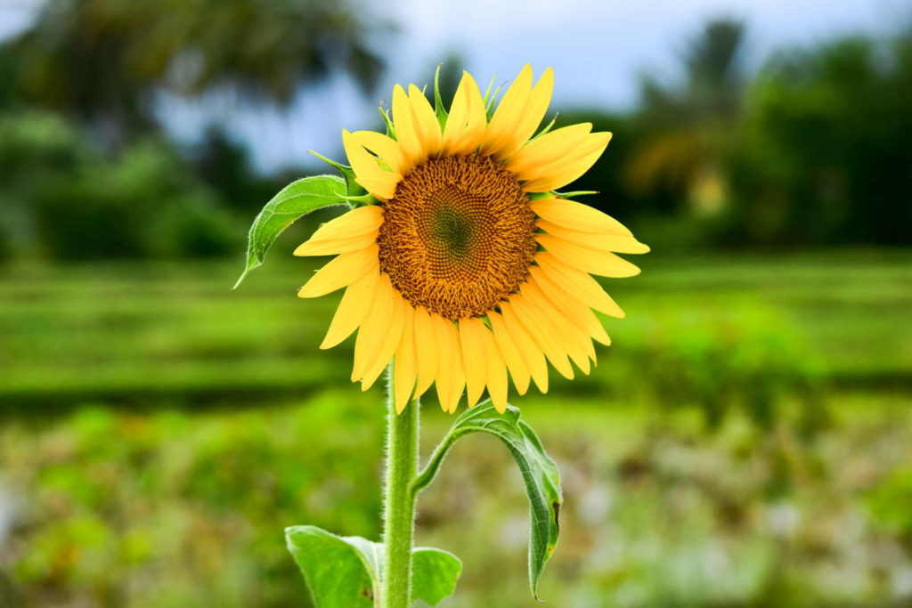 sunrich orange Sonnenblume