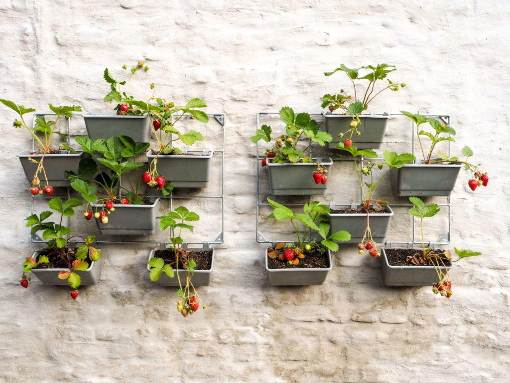 Vertikaler Garten mit Erdbeeren an einer weißen Hauswand