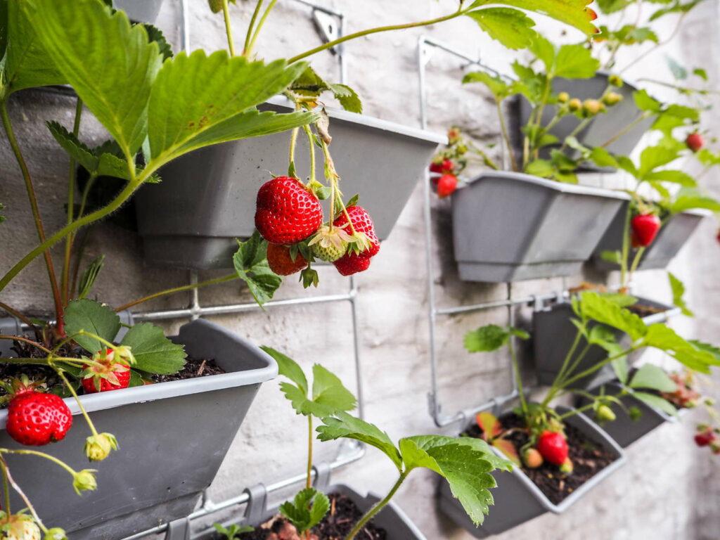 Erbeeren in einem vertikalen Garten an einer weißen Hauswand