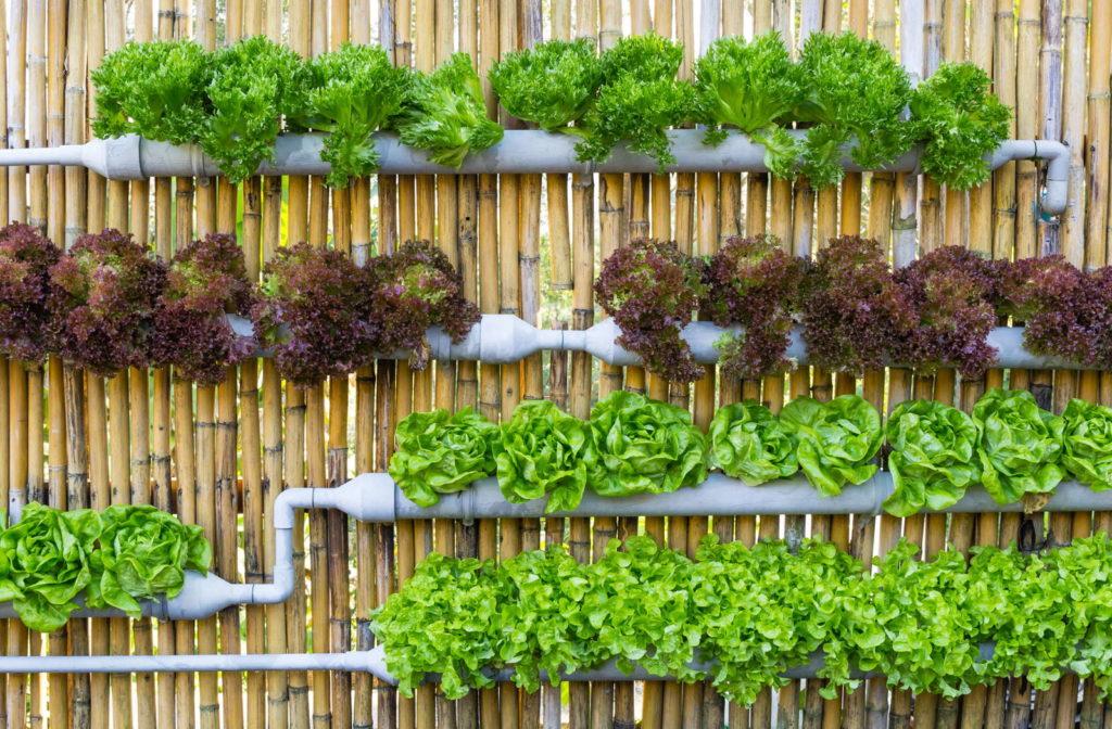 Salat wird in weißen Dachrinnen angebaut