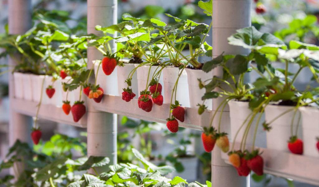 Vertikaler Garten mit Erdbeeren in weißen Töpfen