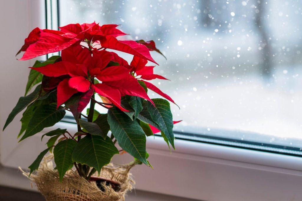Weihnachtsstern blühend