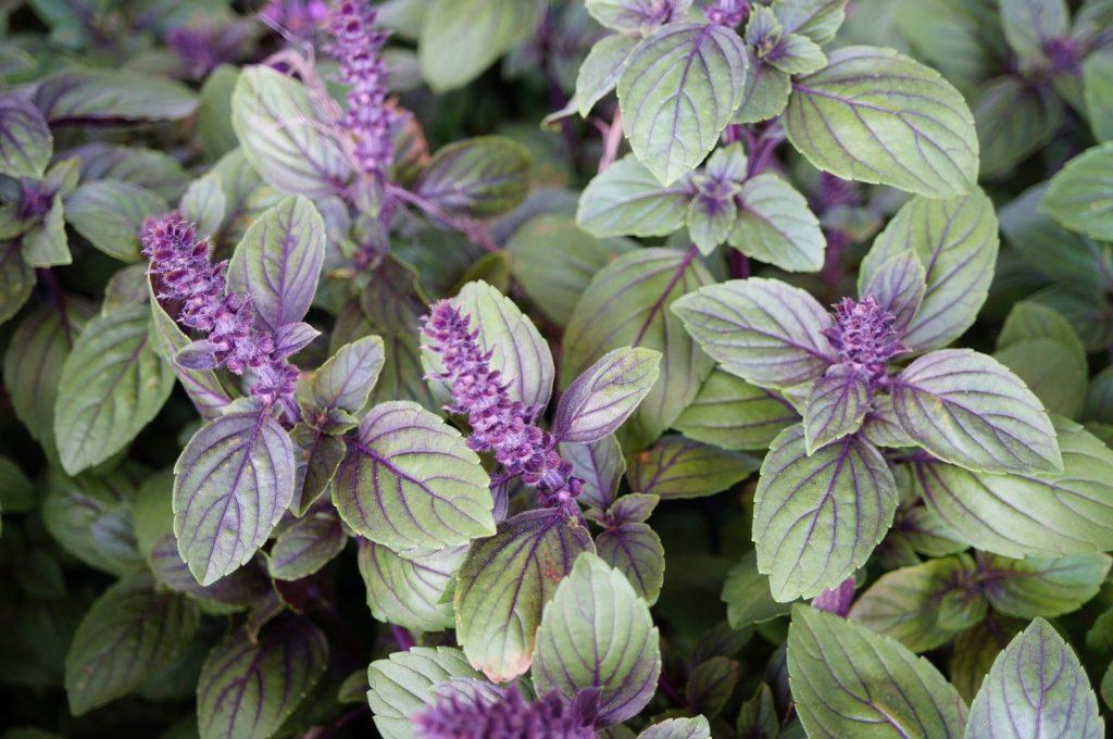 Basilikum Marktfrische Kr/äuter Pflanze Kr/äuter Pflanze Rotes Basilikum