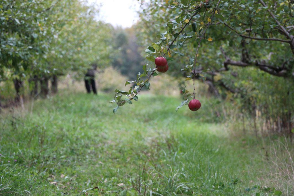In einer Apfelplantage hängen nur zwei Äpfel am Baum