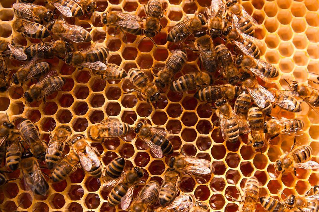 Arbeiterbienen auf Honigwaben