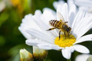 Biene Sitzt Auf Margerite