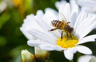 Bienen im Garten: Alles, was Sie dazu wissen müssen