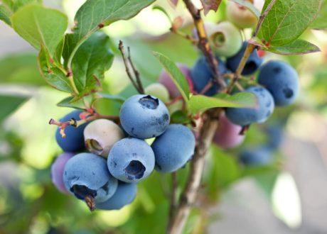 Blaubeeren Am Zweig Im Garten