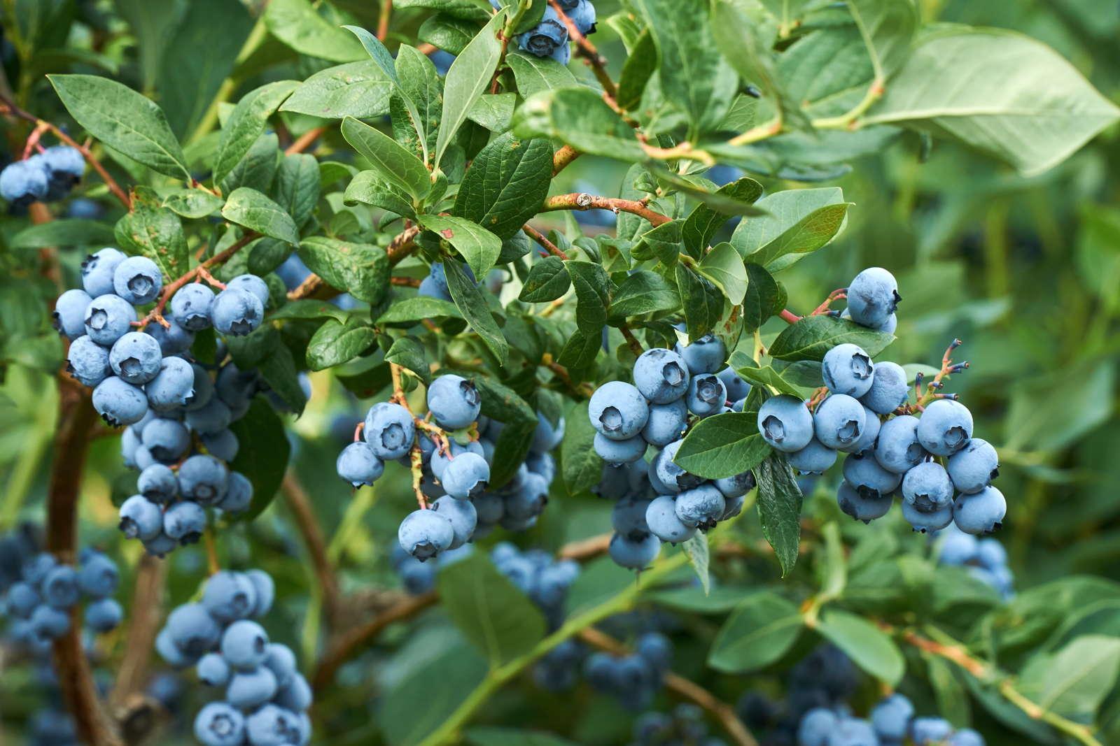 Heidelbeeren Blaubeeren Vermehren Erfolgreiche Profi Tipps Plantura