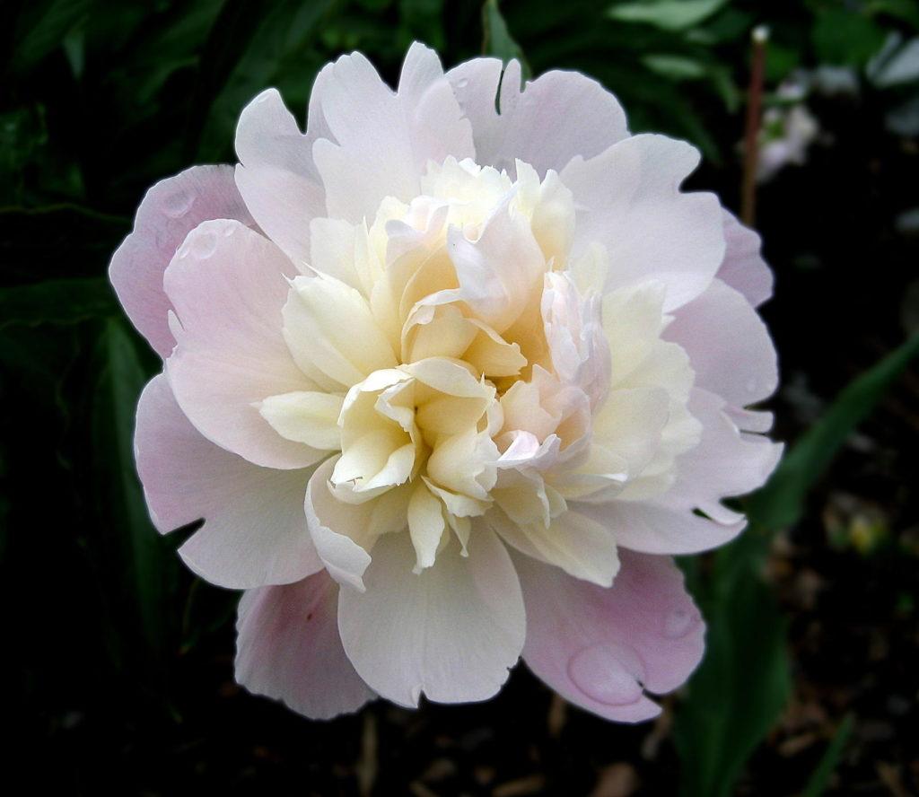 Blume mit großen Blüten in Rosa