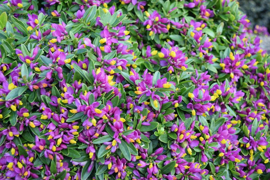 Buchs-Kreuzblume im Garten