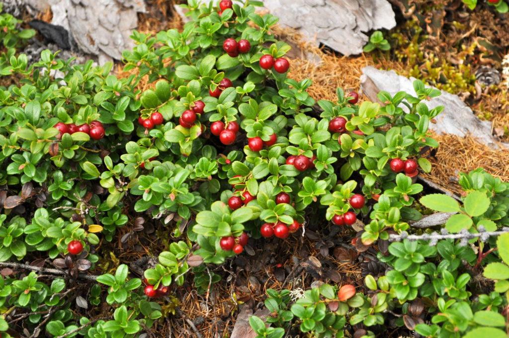 Cranberry als Bodendecker pflanze
