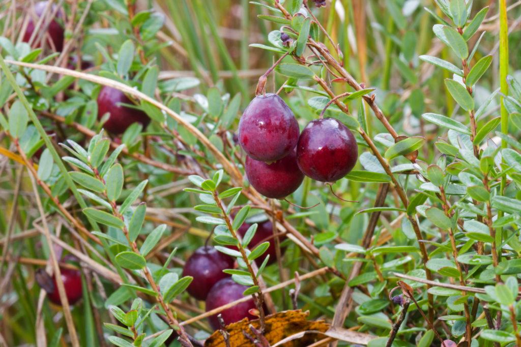 Cranberry am Strauch nah