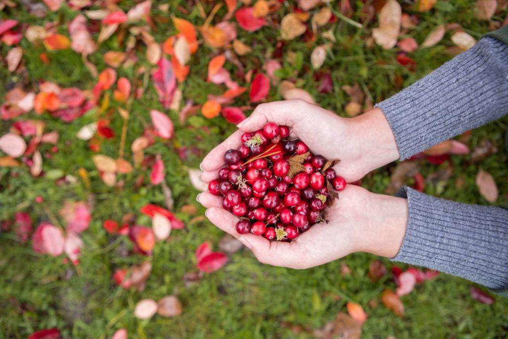 Cranberrys gepflückt in Händen
