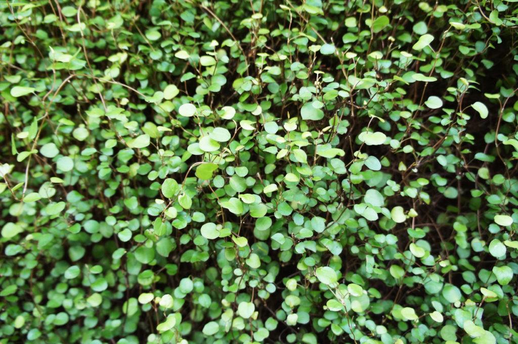 Drahtstrauch grün von Nahem