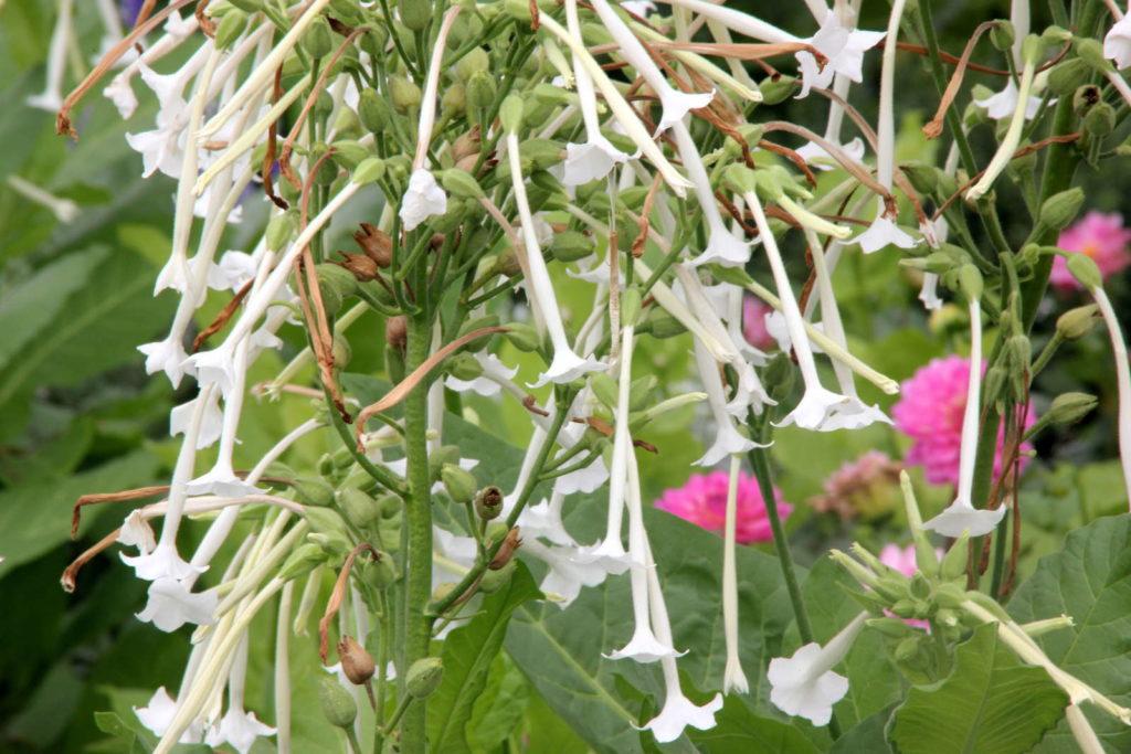 Duft-Wald-Berg-Tabak mit weißen Blüten