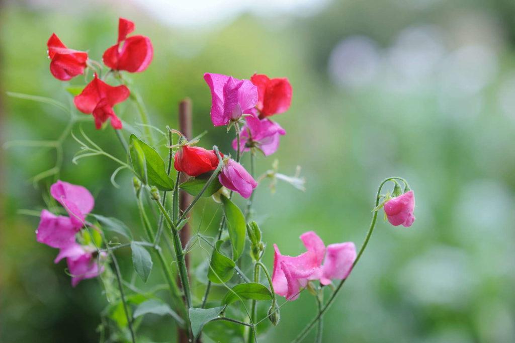 Duftwicke in Rot und Rosa