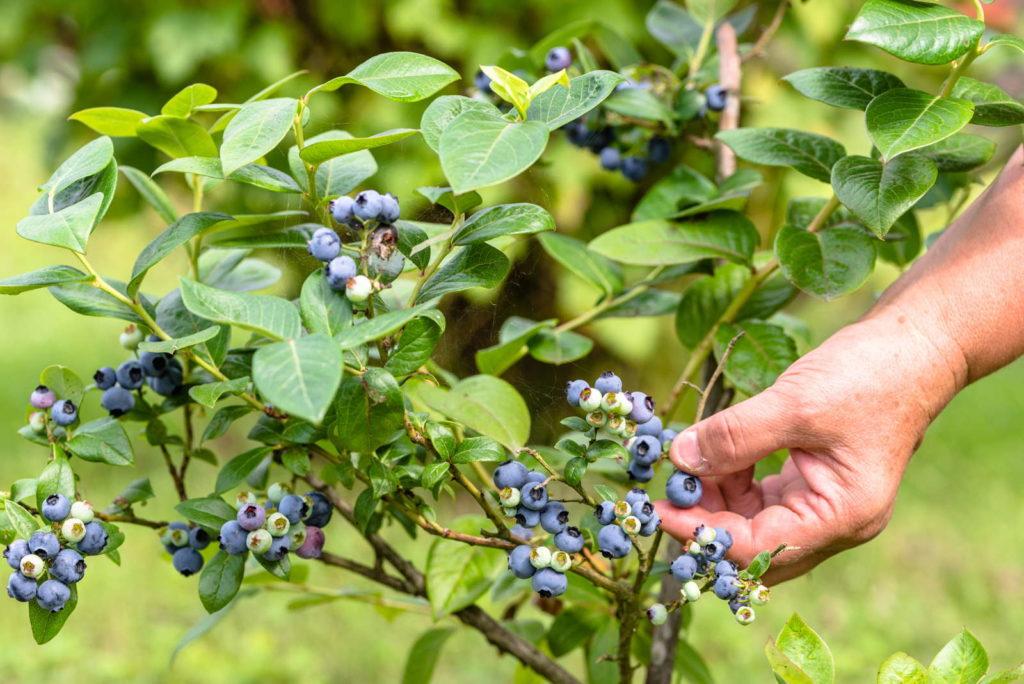 Blaubeeren werden vom Strauch gepflückt