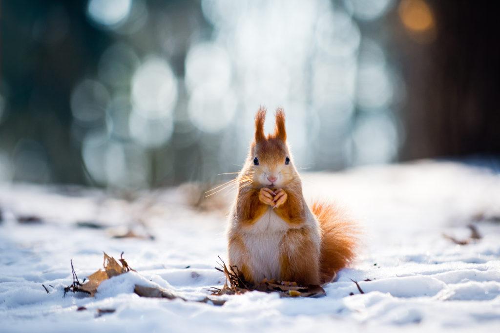 Eichhörnchen im Schnee mit Nuss