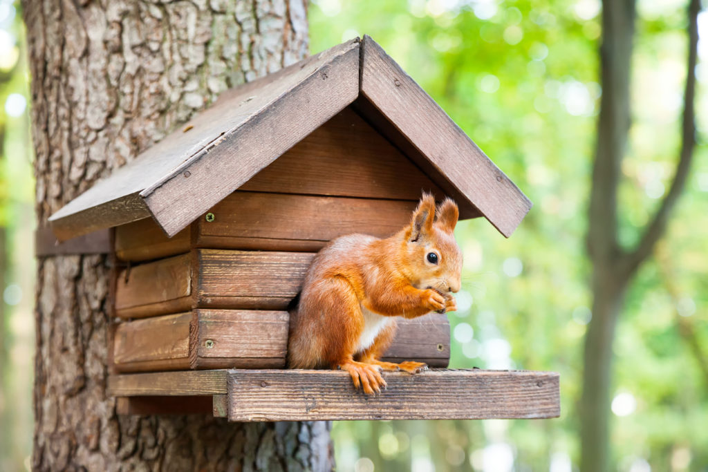 Eichhörnchen vor Futterhaus im Wald